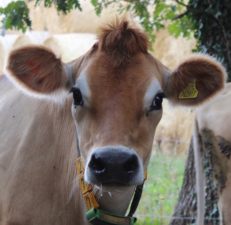 Funny Jersey Cow