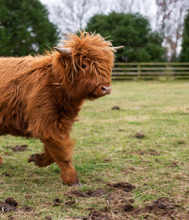 Running Highland Calf