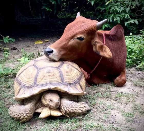 Cow and Tortoise, unlikely friends