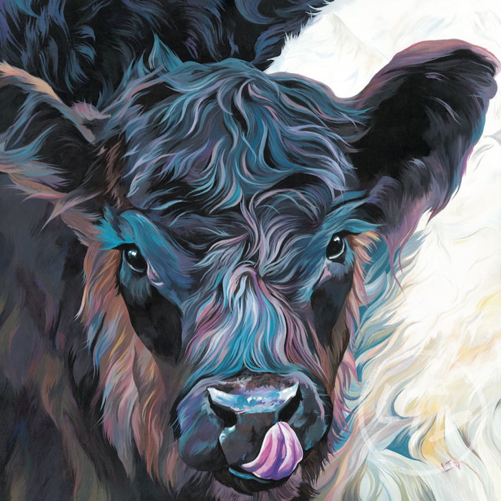Dexter, A Belted Galloway Calf licking his nose
