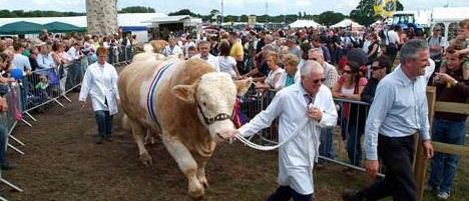 Hereford Bull Parade at Cheshire County Show
