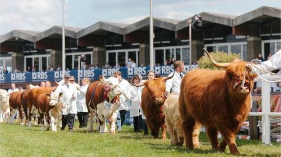 Highland Cow display at the Royal Highland Show
