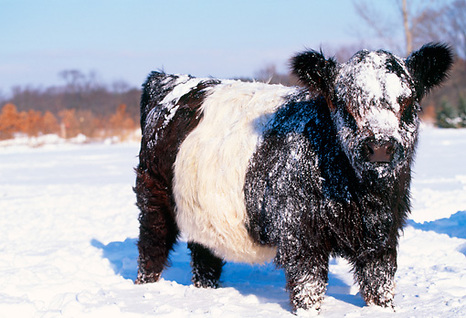 Snowy Belted Galloway