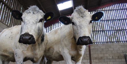Curious British White Cattle
