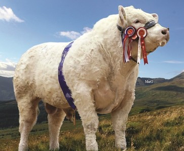 Charolais Bull with Rosettes