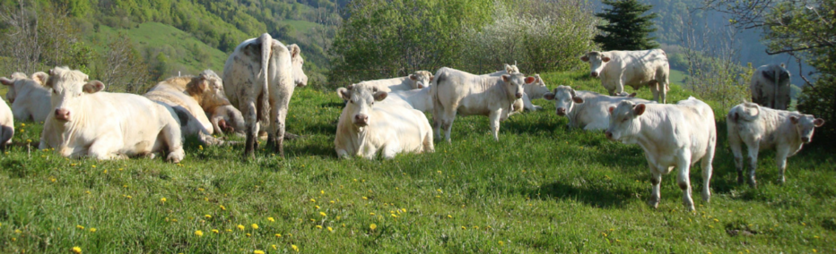 Charolais Cattle in the Sun